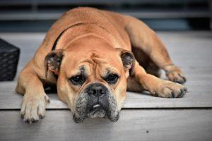 Gelangweilter Hund der gerade unproduktiv ist